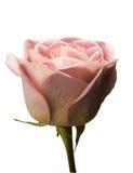 Pink Rose Macro Royalty Free Stock Image
