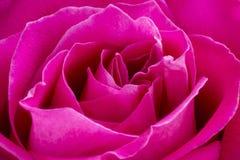 Pink rose macro background Stock Photos