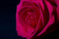 Pink rose macro on black Stock Photography