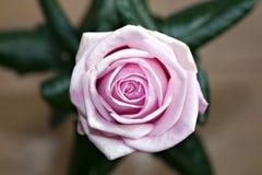 Pink rose macro close up Stock Photo