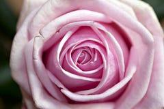 Pink rose macro close up Royalty Free Stock Image