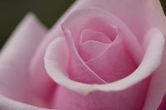 Pink rose macro Royalty Free Stock Photography
