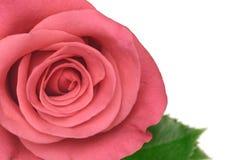 Pink rose macro Stock Photography
