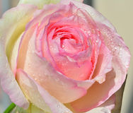 Pink rose macro with dewdrops Stock Photography