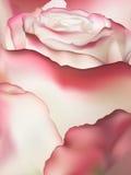 Pink rose macro. EPS 10 Stock Photos