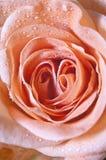 Pink rose. Macro of pink rose for greeting card or postcard Royalty Free Stock Photos