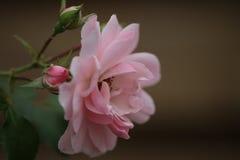 Pink rose. Macro photo pink rose Royalty Free Stock Photo