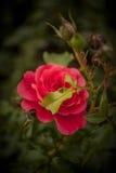 Pink rose. Macro shot of pink rose Royalty Free Stock Image