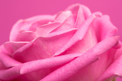 Pink rose on magenta Stock Images