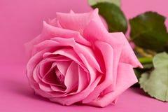 Pink rose on magenta. Background Stock Photos