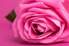 Pink rose on magenta Stock Photography