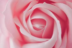 The pink rose. stock photo