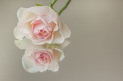 Pink rose on a mirror Royalty Free Stock Photography