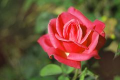 Pink rose in the morning royalty free stock photos