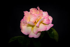 Pink Rose in Morning Dew Royalty Free Stock Photo