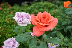 The pink rose Royalty Free Stock Image