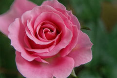 Pink Rose in the morning with love meaning Royalty Free Stock Images