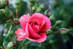 Pink rose. The most beuatiful flower after rain Stock Images