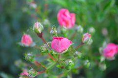 Pink Rose. Nature, summer. stock photography