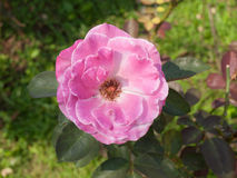 Pink rose in nature in horizontal Stock Photography
