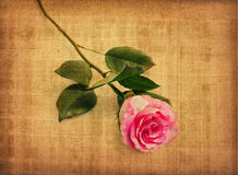 Pink rose on old paper stock image