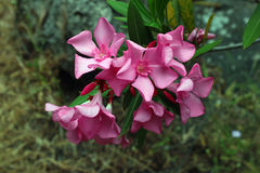 Pink rose oleander flowers and leaves (Nerium oleander L.). Oleander shrub, flowers and leaves Royalty Free Stock Images