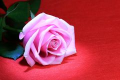 Pink Rose On Red Royalty Free Stock Images