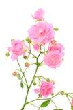 Pink Rose On White. Royalty Free Stock Image