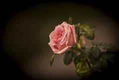 Pink rose. Royalty Free Stock Photos