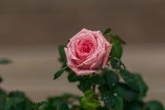 Pink rose. Stock Photos