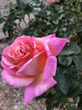Pink Rose. Pink and orange rose - photo taken in the rule of thirds royalty free stock photography