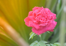 Pink rose in orange sunrise background Royalty Free Stock Image