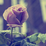 Pink rose outdoors Royalty Free Stock Photo
