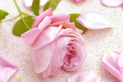 Pink rose over petals. Pastel pink rose lying in the terrace amongst petals.  Ranked first as most important cut flower in the world Stock Images