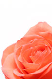 Pink rose over white Royalty Free Stock Photo