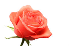 Pink rose over white. Pink rose macro over white Royalty Free Stock Image