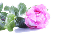 Pink rose over white background Royalty Free Stock Photography