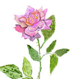 Pink Rose, painting Stock Images