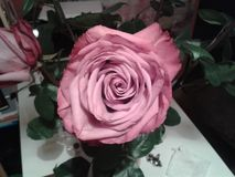 Pink rose. Pale pink rose front Stock Photo