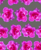 Pink rose pattern. Beautiful flower background seamless Stock Photos