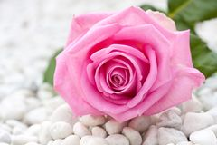 Pink rose between pebbles Stock Photography