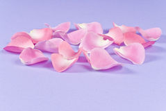 Pink Rose Pedals Royalty Free Stock Photography