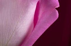 Pink Rose Petal. On Deep Red Background Stock Image
