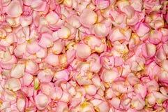Pink rose petal background Royalty Free Stock Image