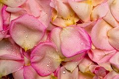 Pink rose petal background Royalty Free Stock Photography