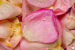 Pink rose petal background Stock Image