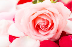 Pink Rose with petal besides Royalty Free Stock Images