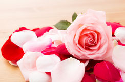 Pink Rose with petal besides Royalty Free Stock Photography