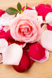 Pink Rose with petal besides Stock Photo