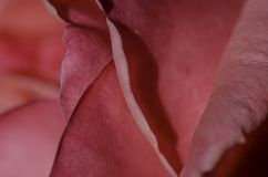 Pink rose petal close-up, macro. Royalty Free Stock Image